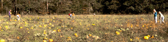 Pumpkin patch at Corny Creek Farm in Columbiana. Photographed in 2006 by Curtis Palmer